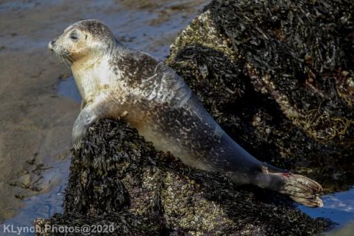 Seal_129