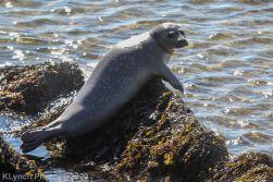 Seal_13