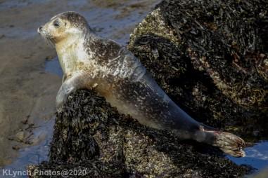 Seal_130