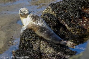 Seal_131
