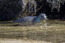 Seal_137