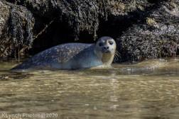 Seal_139