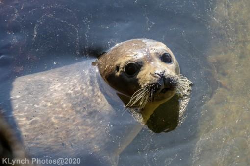 Seal_154