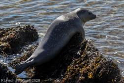 Seal_18