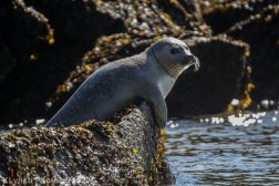 Seal_27