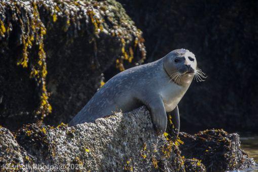 Seal_30