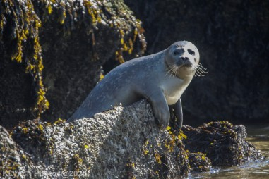 Seal_31