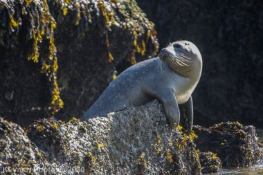 Seal_32