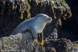 Seal_36