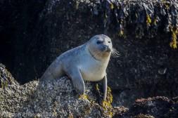 Seal_37