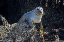 Seal_38