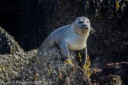 Seal_39