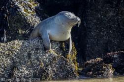 Seal_40