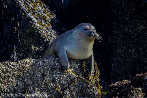Seal_41