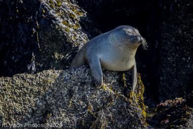 Seal_42