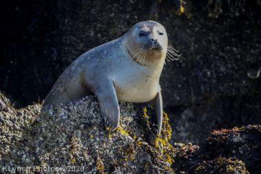 Seal_43