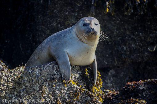 Seal_44