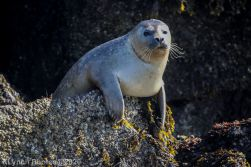Seal_46