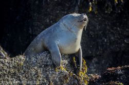 Seal_51