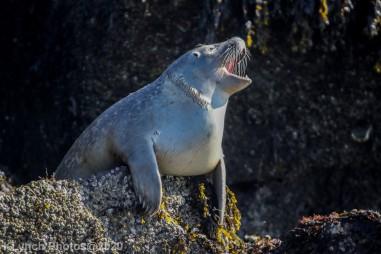 Seal_53