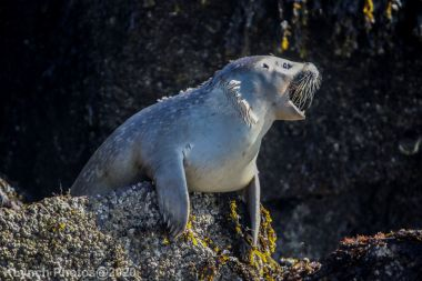 Seal_54