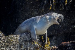 Seal_56