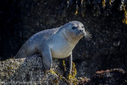 Seal_57