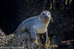 Seal_59