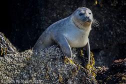 Seal_60