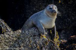 Seal_61
