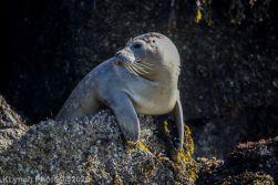 Seal_62