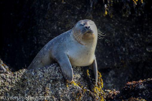 Seal_63