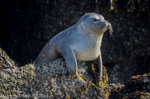 Seal_66