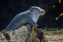 Seal_67