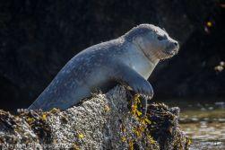 Seal_68