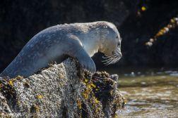 Seal_71
