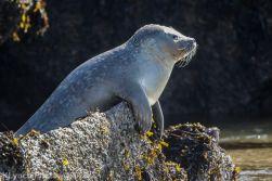 Seal_72