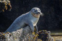 Seal_73