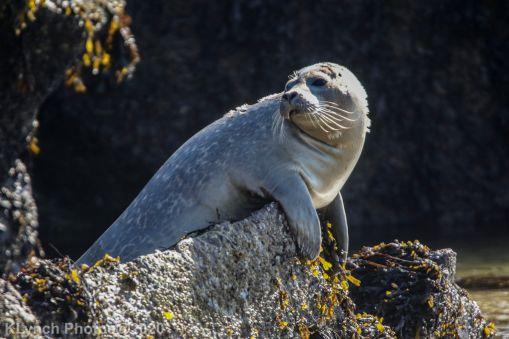 Seal_74
