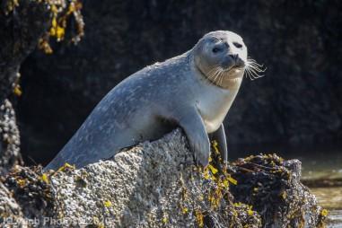 Seal_75