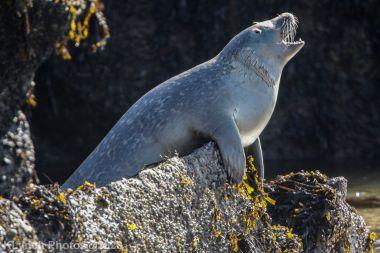 Seal_76