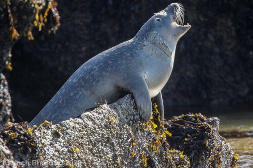Seal_77