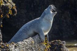 Seal_78