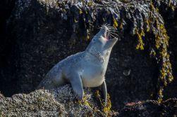 Seal_79