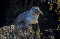 Seal_81