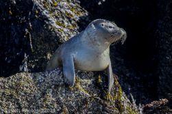 Seal_83
