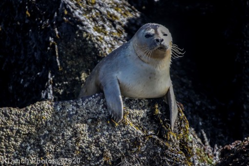 Seal_85