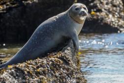 Seal_93