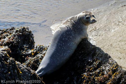 Seal_96