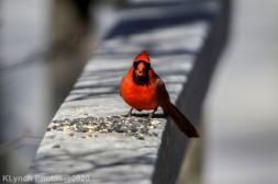Cardinal_4